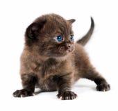 Brown british kitten Royalty Free Stock Photos