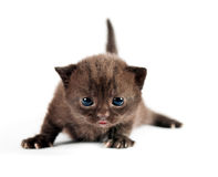 Brown british kitten Royalty Free Stock Image