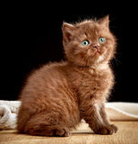 Brown british kitten Royalty Free Stock Photography