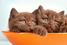 Brown british kittens Royalty Free Stock Photo
