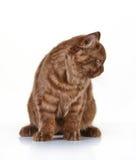 Brown british long hair kitten Royalty Free Stock Photo