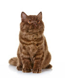 Brown british long hair kitten Royalty Free Stock Photo