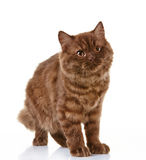 Brown british long hair kitten Stock Photos