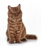 Brown british long hair kitten Stock Photography