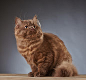 Brown british longhair kitten Royalty Free Stock Images