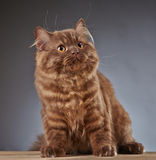 Brown british longhair kitten Royalty Free Stock Image