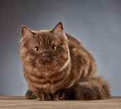Brown british longhair kitten Royalty Free Stock Photos
