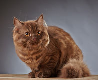 Brown british longhair kitten Royalty Free Stock Photo