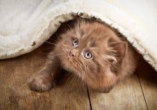 Brown british longhair kitten Royalty Free Stock Photos