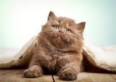 Brown british longhair kitten Royalty Free Stock Photo