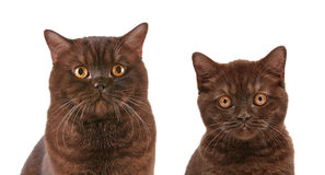 Brown british short hair cat and kitten. Portrait of brown british short hair cat and kitten Royalty Free Stock Image