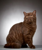 Brown british short hair cat Stock Photography