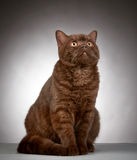 Brown british short hair cat Royalty Free Stock Photography