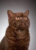 Brown british short hair cat Stock Photos