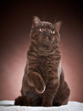 Brown british short hair cat Royalty Free Stock Images