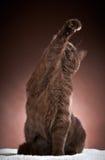 Brown british short hair cat Stock Images