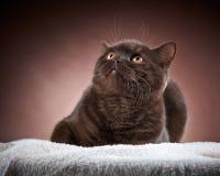 Brown british short hair cat Royalty Free Stock Photos