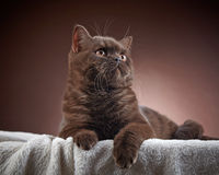 Brown british short hair cat Stock Photo