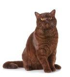 Brown british short hair cat. Portrait of brown british short hair cat Royalty Free Stock Photography
