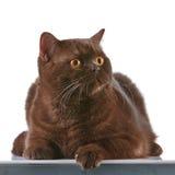 Brown british short hair cat. Portrait of brown british short hair cat Royalty Free Stock Photos