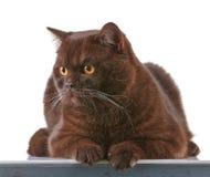 Brown british short hair cat Stock Image