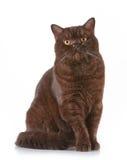 Brown british short hair cat. Portrait of brown british short hair cat Stock Photo