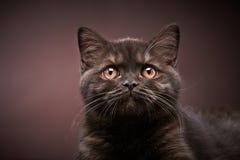Brown british short hair kitten, 3 month old Stock Image