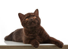 Brown british short hair kitten, 3 month old Royalty Free Stock Images