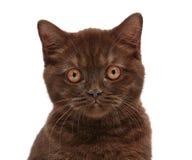 Brown british short hair kitten Royalty Free Stock Photos