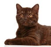 Brown british short hair kitten Stock Photography