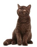 Brown british short hair kitten Royalty Free Stock Photo