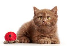 Brown british short hair kitten Stock Images