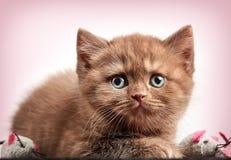 Brown british short hair kitten Stock Image