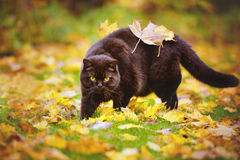 Brown british shorthair cat with leaves on his back Stock Photos