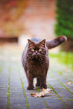 Brown british shorthair cat outdoors Royalty Free Stock Photo