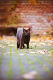 Brown british shorthair cat outdoors Stock Photo