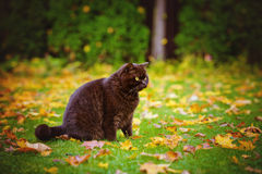 Brown british shorthair cat outdoors Royalty Free Stock Photography