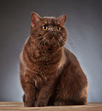 Brown british shorthair cat Royalty Free Stock Images