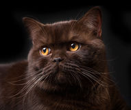 Brown british shorthair cat Stock Photography