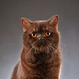 Brown british shorthair cat Stock Images