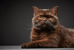 Brown british shorthair cat Royalty Free Stock Photos