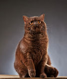 Brown british shorthair cat Royalty Free Stock Photo