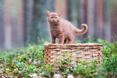 Brown british shorthair kitten Royalty Free Stock Photography
