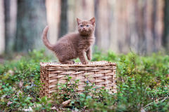 Brown british shorthair kitten Royalty Free Stock Photo
