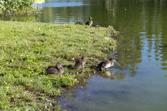 Brown brood of ducklings on a pond Stock Images