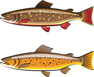 Brown and brook trout Royalty Free Stock Photography