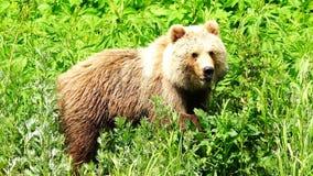 Brown brown niedźwiedź delektuje zielonej trawy zbiory