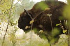 Brown Buffalo Closeup Photography Stock Image