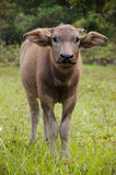 Little Brown Buffalo. The little brown buffalo son living in farm in country side of Thailand Royalty Free Stock Photography