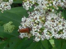 Brown bug beetle white blossom of a elderberry bush. Brown bug beetle animal insect White elderberry bush tree blossom royalty free stock image